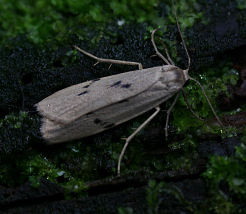 Dotted Footman Pelosia muscerda Tophill Low NR, East Yorkshire September 2014