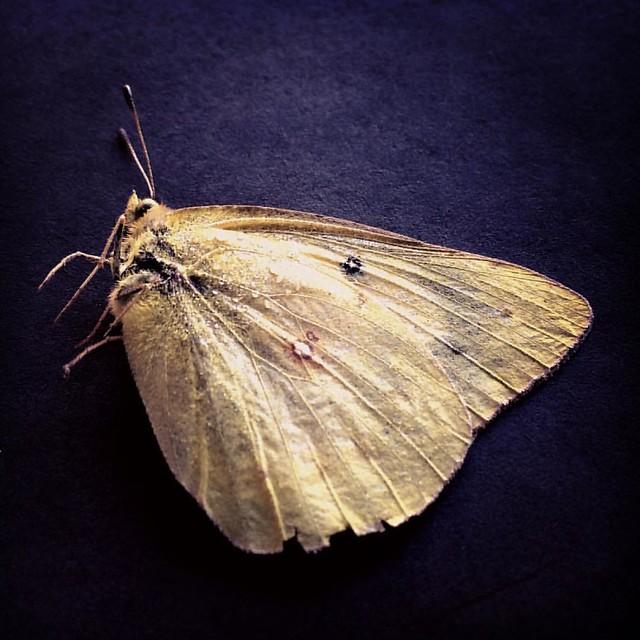 Sulphur #sulphurs #butterflies #sulphurbutterfly