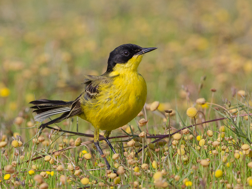 Black-headed Yellow Wagtail 3a 2014-05-02