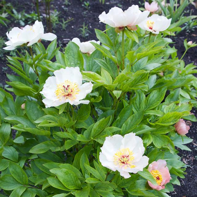 white peony. Lviv botanic garden. Ukraine