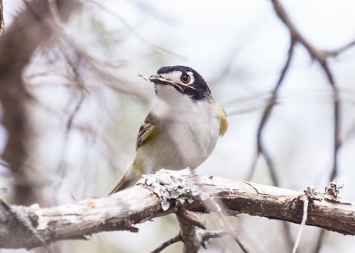 Black-capped Vireo gathering nest materials