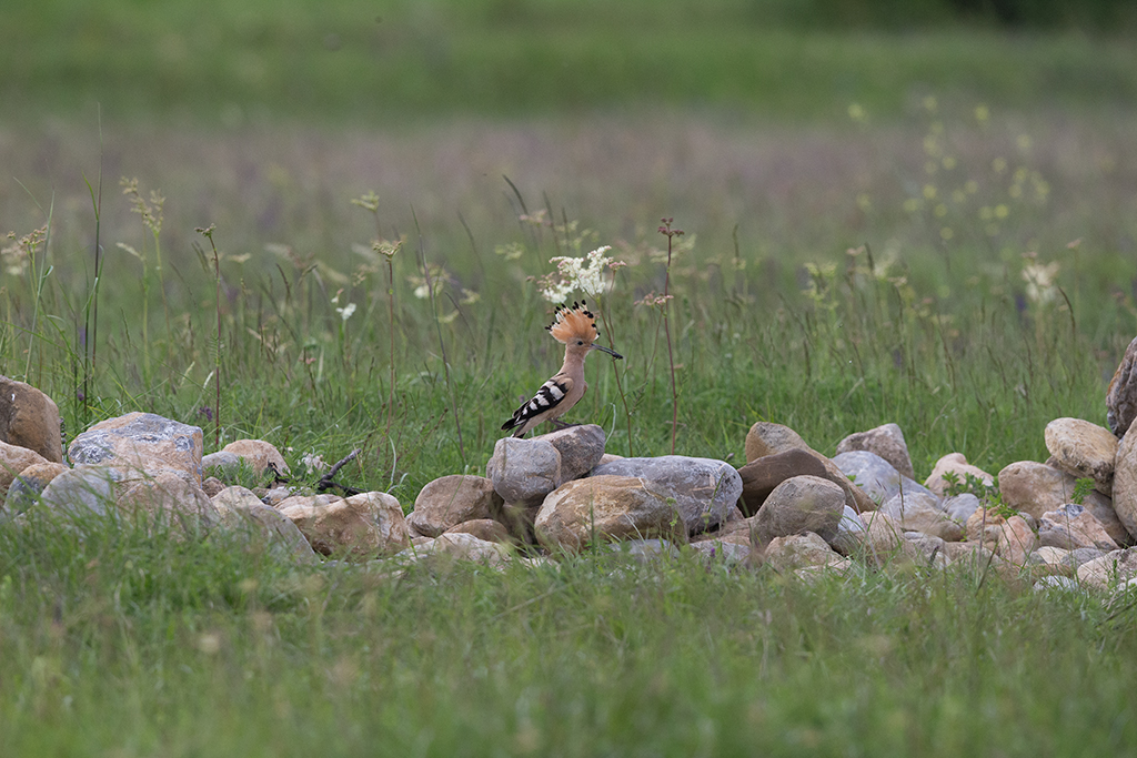 Hoopoe 500mm