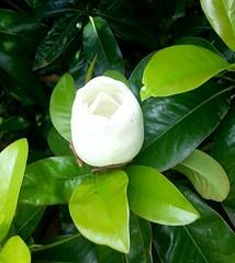 shrub, flower, leaf, plant, flora, produce, gardenia, theaceae,