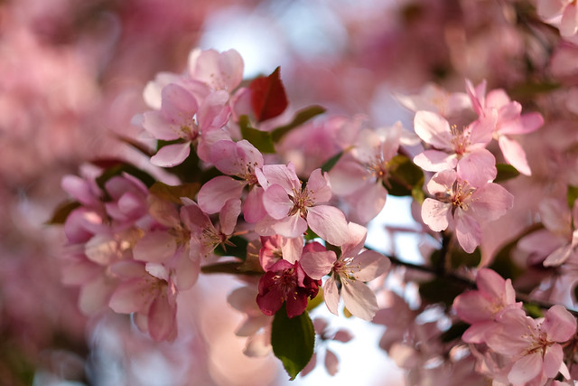A Burst of Blossoms-2