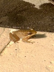 The frog that swam with us!