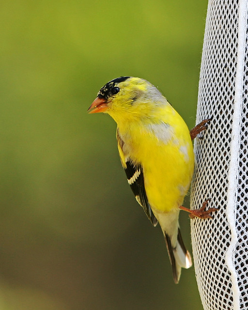 Gold Finch S _9530 (2)