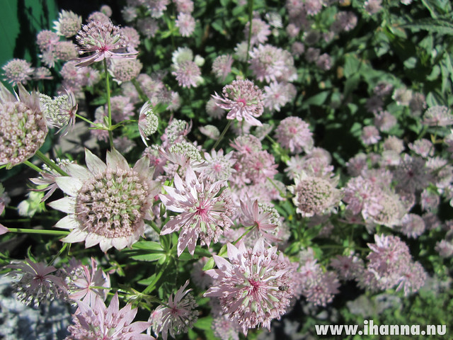 Astrantia major #pinkflowermission photos by iHanna