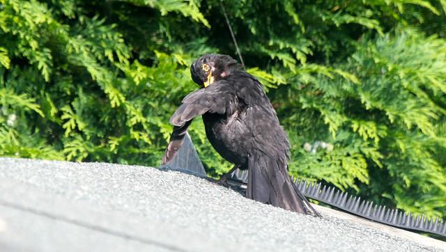 Blackbird IMG_1553