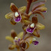 Crested Coral-root -- Hexalectris spicata by Lee Casebere