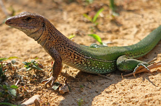 Amazon Racerunner - Giant Ameiva