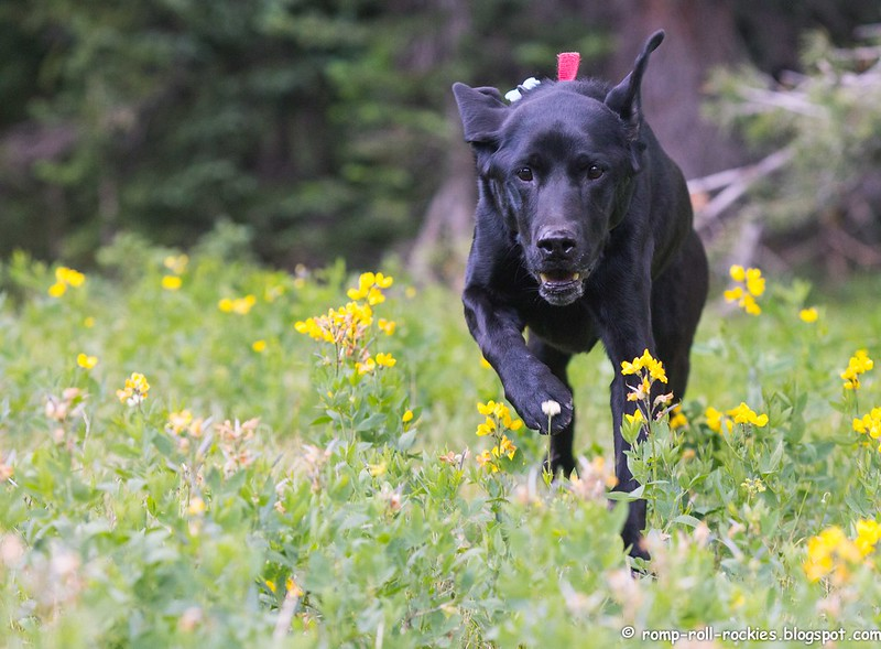 Black Lab on the Move