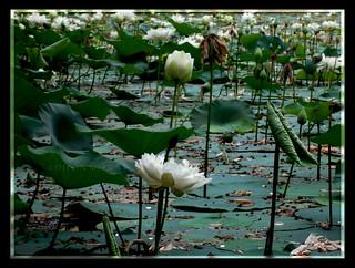 White Lotus 2 | সাদা পদ্ম ২