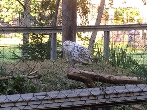 Female Snowy Owl #ZooAmerica