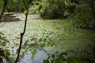 Lily Pond - 1