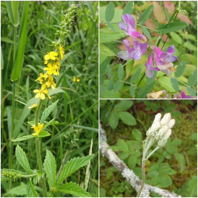 tall agrimony, American vetch, pussytoes