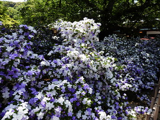 Brunfelsia latifolia in Ryosenji Temple