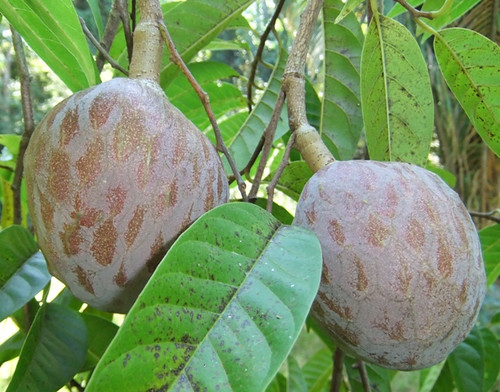 buah nona