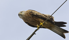 Red Kite looking down the barrel of a canon !