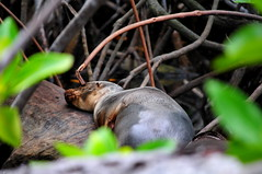 Sea lion sleeping in the mangrove forest on Isabela Island in the Galapagos Islands