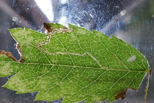 Stigmella magdalenae leaf mine