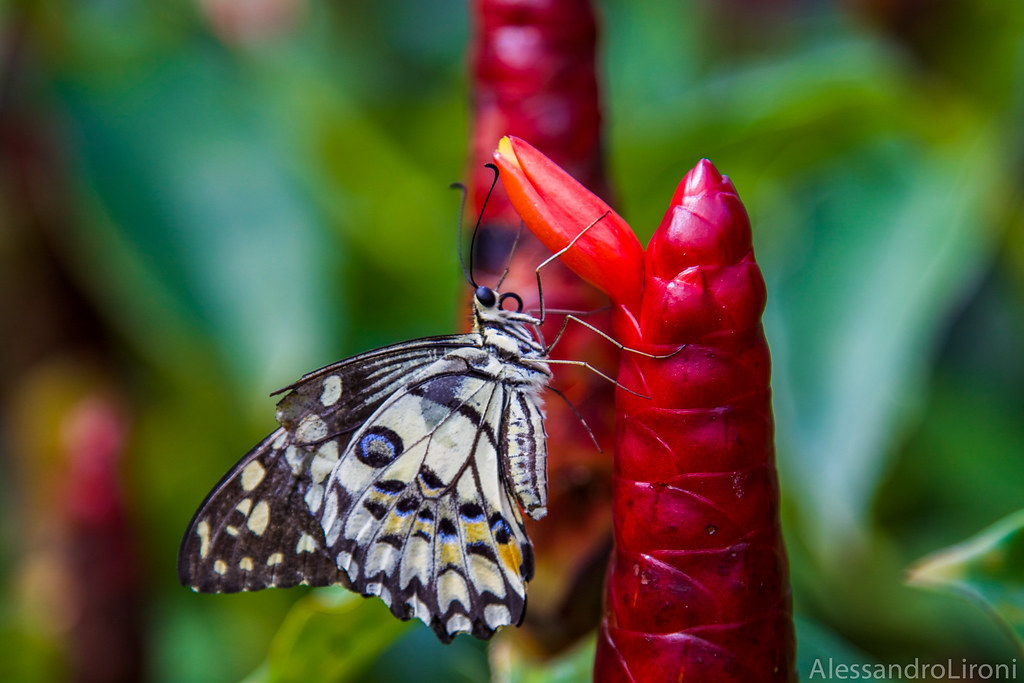 Red and Butterfly