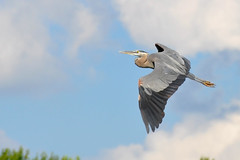 A great blue heron flies over Rough River Lake