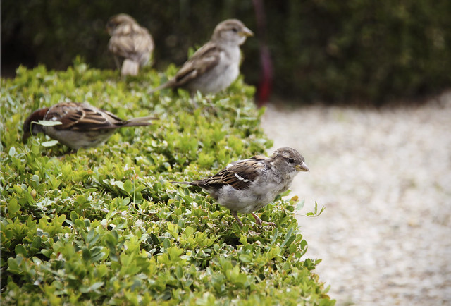 Sparrows in the garden