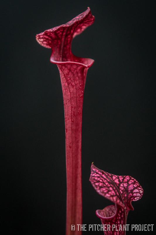 "Sarracenia (leucophylla ""Purple Lips"" x flava var. rubricorpora) x 'Adrian Slack'"