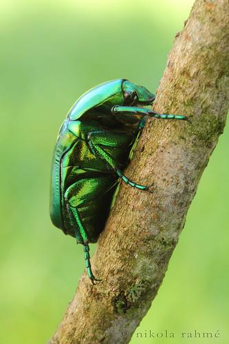 macro beetle naturallight beetles chafer coleoptera scarabaeidae canonef100mmf28macrousm fieldshooting canoneos5dmarkii manfrotto055protripod newportm423