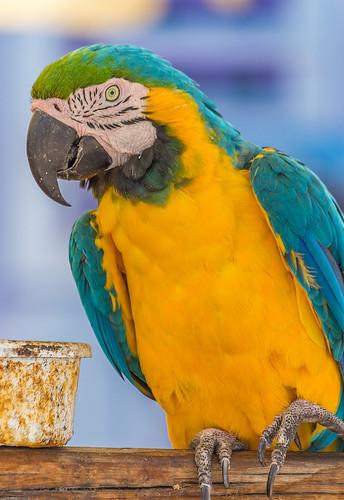 Parrot - Papagai