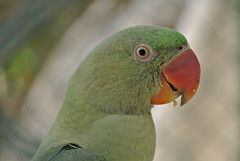 lorikeet(0.0), animal(1.0), lovebird(1.0), parrot(1.0), pet(1.0), green(1.0), fauna(1.0), parakeet(1.0), close-up(1.0), common pet parakeet(1.0), beak(1.0), bird(1.0), wildlife(1.0),