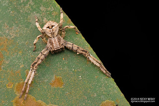 Crab Spider (Angaeus sp.) - DSC_4181