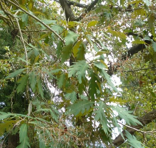 Bocconia arborea 15092816636_13a664a136_o