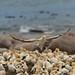 Cape gannet (Morus capensis)