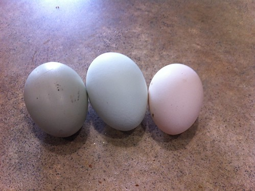 All three chickens are laying eggs.