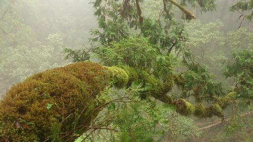 在幾十米扁柏樹冠層萌發的無以計數的小苗,有些將來會成為樹中樹。圖片攝影:徐嘉君