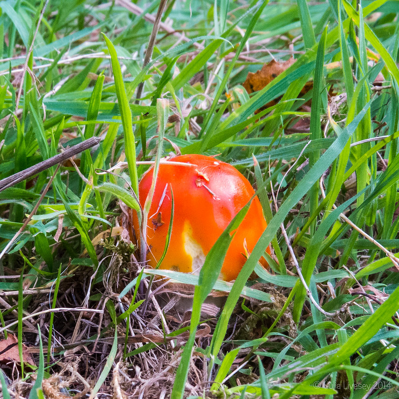 My first Fly Agaric this year