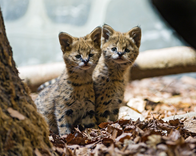 Baby Serval Kittens Two Cute Serval Babies