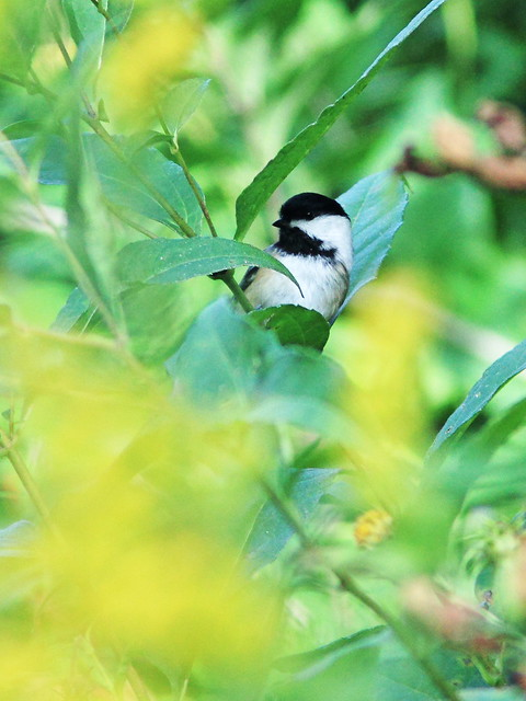 Black-capped Chickadee 20140918