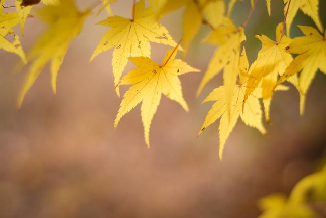 Momiji - Japanese Maple / Nara / Japan