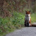 Purbeck Fox 16-11-29-0001