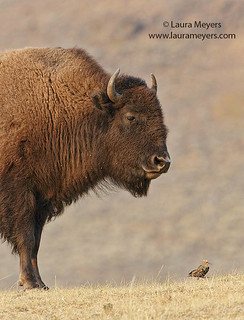 Bison and Starling