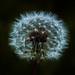 fiore soffione by mallorca78