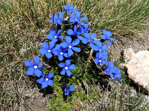 Gentiana orbicularis=Gentiane à f. orbiculaires (3)