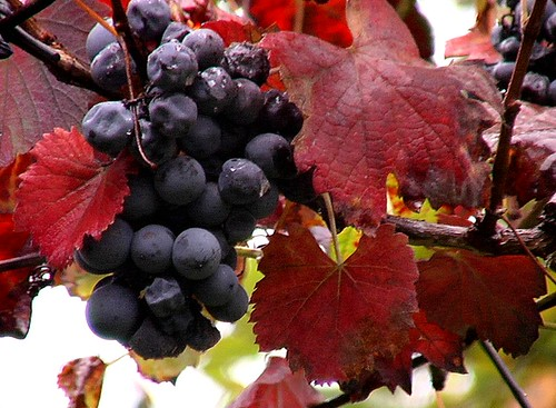 Port Wine Grapes, Star Mountains, Portugal