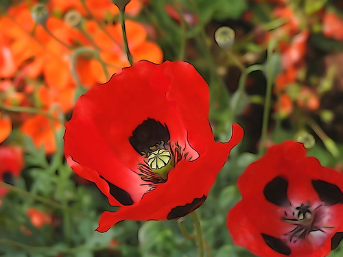 Altered poppies