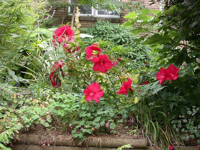 Hibiscus 'Fireball' and 'Lord Baltimore'