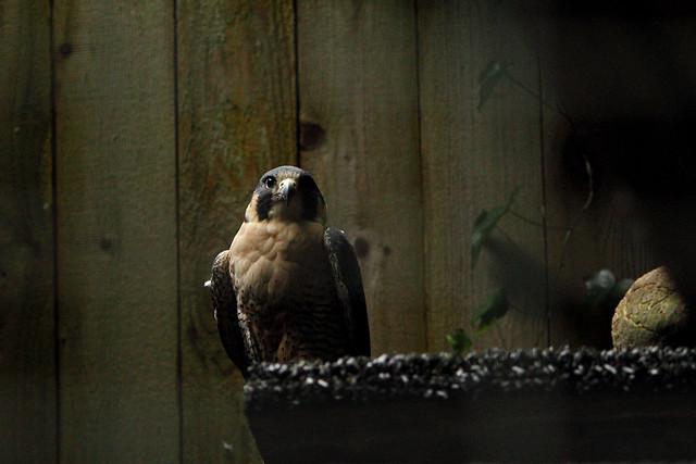 Elvis - swainsons hawk