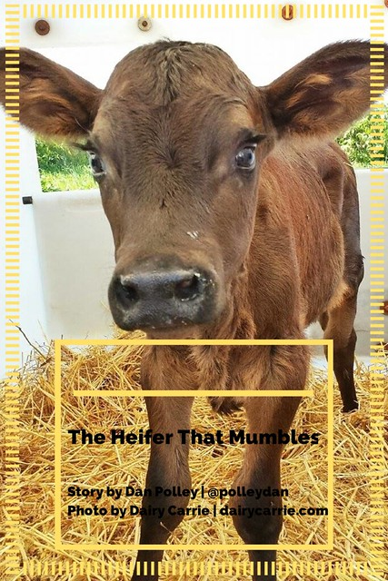 The Heifer That Mumbles