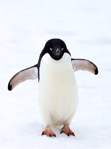 antarctica adeliepenguin pygoscelisadeliae southshetlandislands kinggeorgeisland kookr sonya77 davidcookwildlifephotography sonyslta77v sonysal70400g2 ©2014davidcookwildlifephotographyallrightsreserved